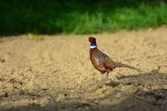 Male common pheasant in the field. Wild male pheasant in agricultural field. The common pheasant, Phasianus colchicus, is a bird in the pheasant family royalty free stock image