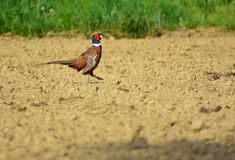 Male common pheasant in the field. Wild male pheasant in agricultural field. The common pheasant, Phasianus colchicus, is a bird in the pheasant family stock images