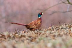 Male common pheasant on the ground in the forest royalty free stock photography