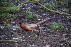 A male common pheasant Royalty Free Stock Photos