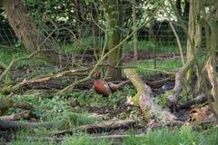 A male common pheasant Stock Photos