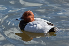 Male. Common Pochard, Aythya ferina Royalty Free Stock Images