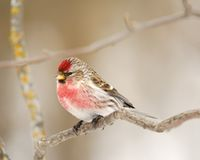 Male Common Redpoll Royalty Free Stock Images