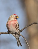 Male Common Redpoll Stock Photo