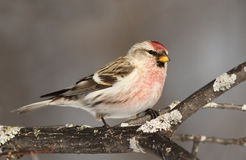 Male Common Redpoll Royalty Free Stock Photos