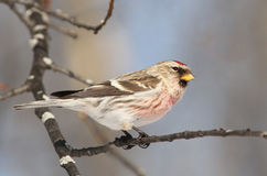 Male Common Redpoll Royalty Free Stock Photography