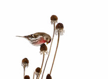 Male common redpoll perched, isolated on white. Royalty Free Stock Image