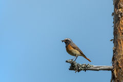 Male Common Redstart Stock Photo