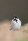 Male Common Reed Bunting feeding Stock Photo