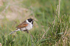 Male Common Reed Bunting perched amongst grass Royalty Free Stock Images