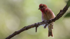 Male Common Rosefinch Royalty Free Stock Images