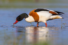 Male Common shelduck feeding. Foraging male Common shelduck (Tadorna tadorna). It is a waterfowl species and widespread in Europe and Asia Stock Images