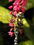 Male Common Southern Hawker dragonfly royalty free stock image