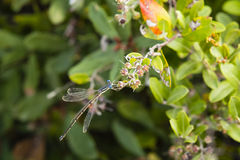 Male Common Spreadwing Damselfly Stock Image