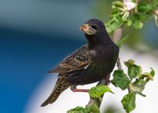Male common starling sits perched with food in beak to his chicks stock photography