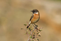 Male Common Stonechat Royalty Free Stock Photos