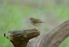 Male common tailorbird. Beautiful male common tailorbird on the log royalty free stock photo