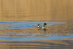 Male common teal Anas crecca swimming in evening sun Stock Images