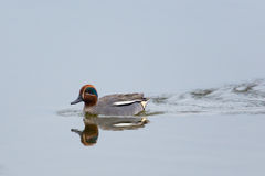 Male common teal (Anas crecca) Royalty Free Stock Photos