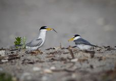 Male, common tern offers food to his mate royalty free stock photography