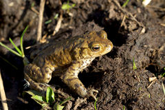 Male Common Toad. Stock Photo