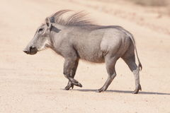 Male Common Warthog. A Common Warthog photographed in a dusty South Africa Royalty Free Stock Photo