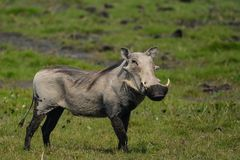 Male common warthog in Bwabwata National Park. Picture captured at a game drive through the buffalo core area in bwabwata national park, east side of the Stock Image