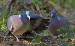 Male Common wood pigeon love display to his female with wings and tail motion royalty free stock photography