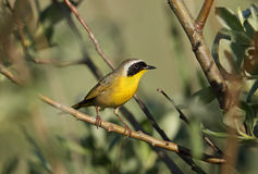 Male Common Yellowthroat, Canada. A Male Common Yellowthroat in the forest, British Columbia, Canada Stock Photo
