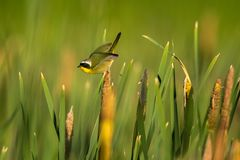 A male Common Yellowthroat in a cattail marsh in spring. Male Common Yellowthroat warbler pauses briefly in a cattail marsh at Alamosa National Wildlife Refuge Stock Photo