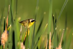 A male Common Yellowthroat in a cattail marsh in spring. Male Common Yellowthroat warbler pauses briefly in a cattail marsh at Alamosa National Wildlife Refuge Royalty Free Stock Photos