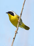 Male Common Yellowthroat - Geothlypis trichas. A bright yellow male Yellowthroat with a black mask isolated on a blue background Royalty Free Stock Photography