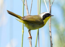 Male Common Yellowthroat = Geothlypis trichas. A colourful male Common Yellowthroat perched on a twig while looking for bugs Stock Photos