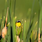 A male Common Yellowthroat perches on a cattail in spring. Male Common Yellowthroat warbler perches on a cattail in a marsh at Alamosa National Wildlife Refuge Stock Photo