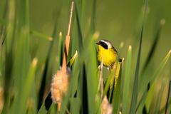 A male Common Yellowthroat poses in a cattail marsh in spring. Male Common Yellowthroat warbler poses for the camera in a cattail marsh at Alamosa National Royalty Free Stock Photography