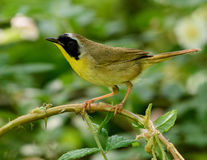 Male Common Yellowthroat Warbler. A broad black mask lends a touch of highwayman`s mystique to the male Common Yellowthroat Stock Images