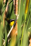 A male Common Yellowthroat in a cattail marsh in spring. Male Common Yellowthroat warbler pauses briefly in a cattail marsh at Alamosa National Wildlife Refuge Stock Image