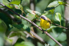 Male Common Yellowthroat Warbler. Telephoto shot of a male Common Yellowthroat Warbler on a bright, sunny afternoon in the Pacific Northwest Stock Image