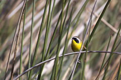 Male common yellowthroat warbler. At the Viera wetlands Royalty Free Stock Images
