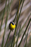 Male common yellowthroat warbler. At the Viera wetlands Stock Photography