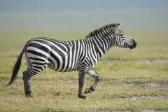 Male Common Zebra running, Tanzania. Common Zebra Stallion running in the Ngorongoro Crater in Tanzania Stock Photo
