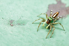 Male Cosmophasis umbratica jumping spider. On green floor Stock Image