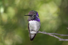 Male Costa's Hummingbird (Calypte costae) Royalty Free Stock Images