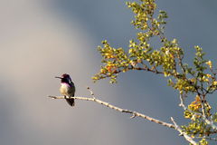 Male Costa's Hummingbird Royalty Free Stock Photos