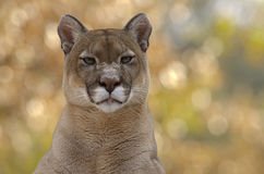 Male cougar sitting Stock Photo