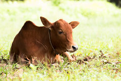 Male cow on Meadow Royalty Free Stock Image