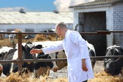 Male cow veterinarian. At the farm royalty free stock photography
