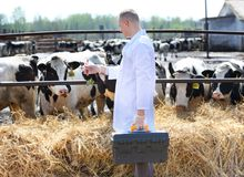 Male cow veterinarian at   farm takes analyzes Royalty Free Stock Images