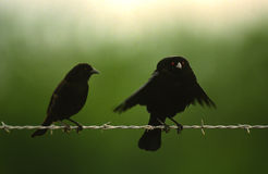 Male Cowbird Displaying on Fence Stock Photo