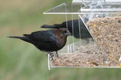 Male Cowbird On A Feeder Stock Images